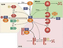 Hücre Modeli İçin Örnek Görüntü 2